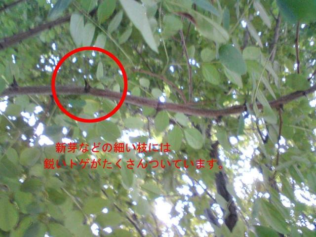 ニセアカシアの画像 p1_25