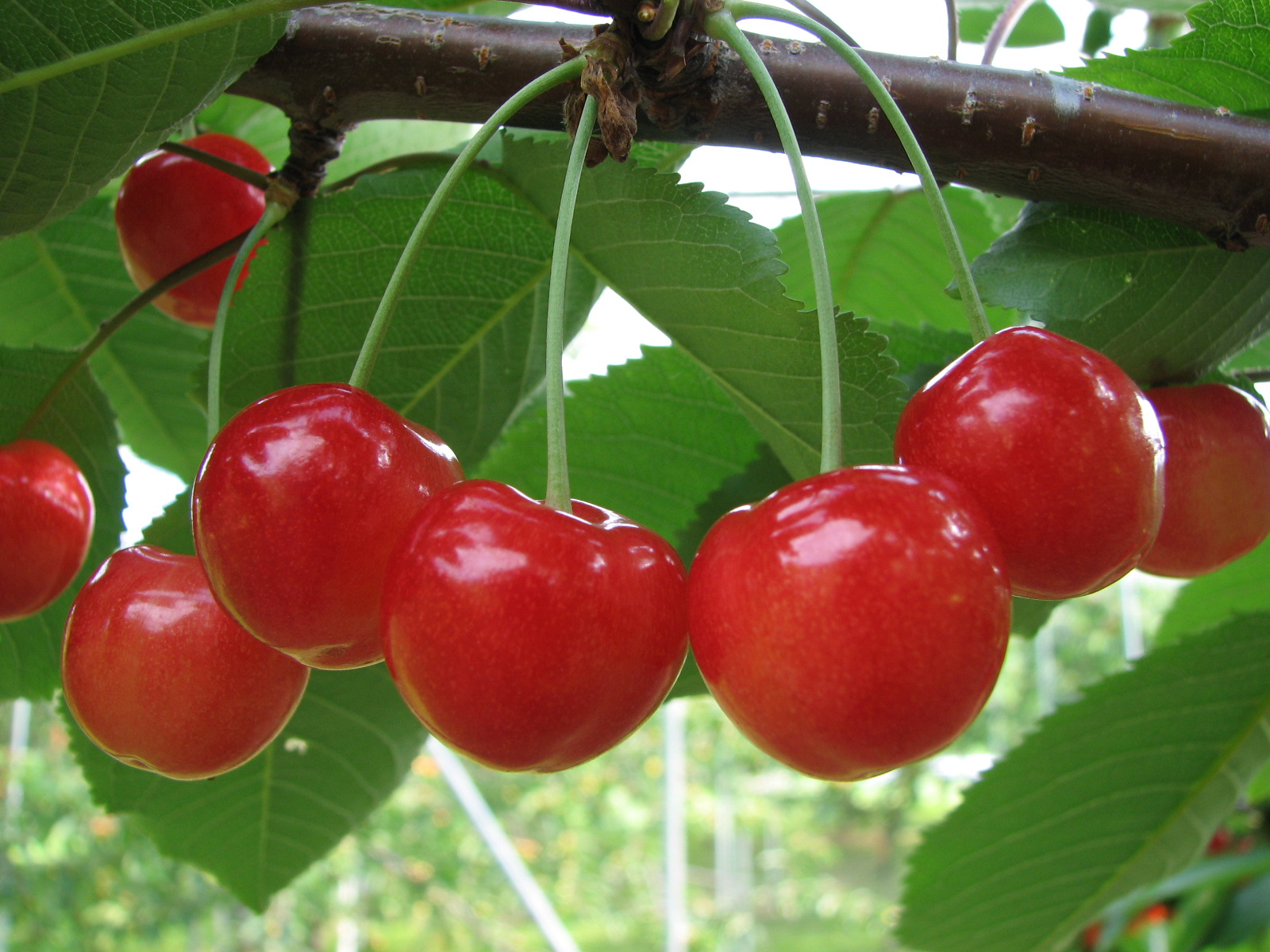 果物狩り・収穫体験 - 北海道石狩市公式ホームページ